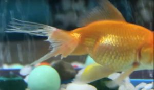 Fin Rot Disease | Goldfish Diseases and Treatment | fin rot tail rot