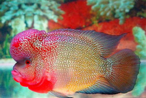 Flowerhorn Diseases and Treatments