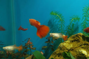 Guppy Disease And Treatment
