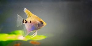 Angelfish Diseases and Treatments