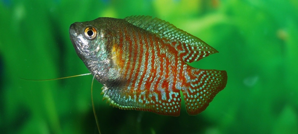 Gourami Fish Diseases and Treatments