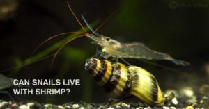 can snails live with shrimps