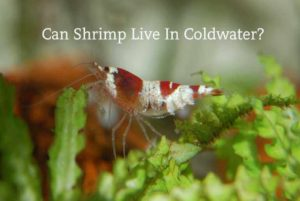 can shrimp live in coldwater