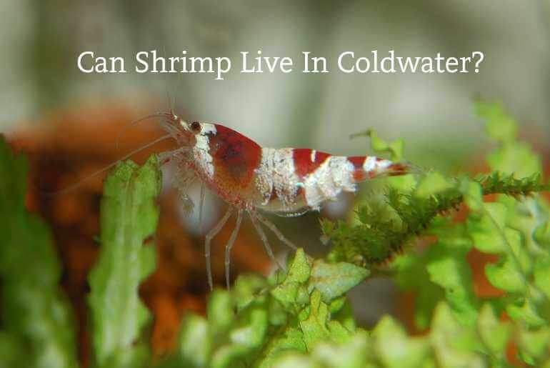 Can Shrimp Live In Cold Water?