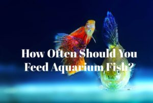 feed aquarium fish
