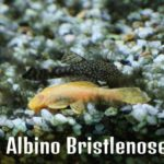 Albino Bristlenose Pleco: Detailed Care Guide