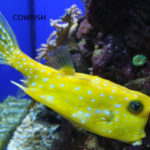 Cowfish Lifespan- How To Increase Their Lifespan? Find Out The Truth
