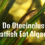 Do Otocinclus Catfish Eat Algae?