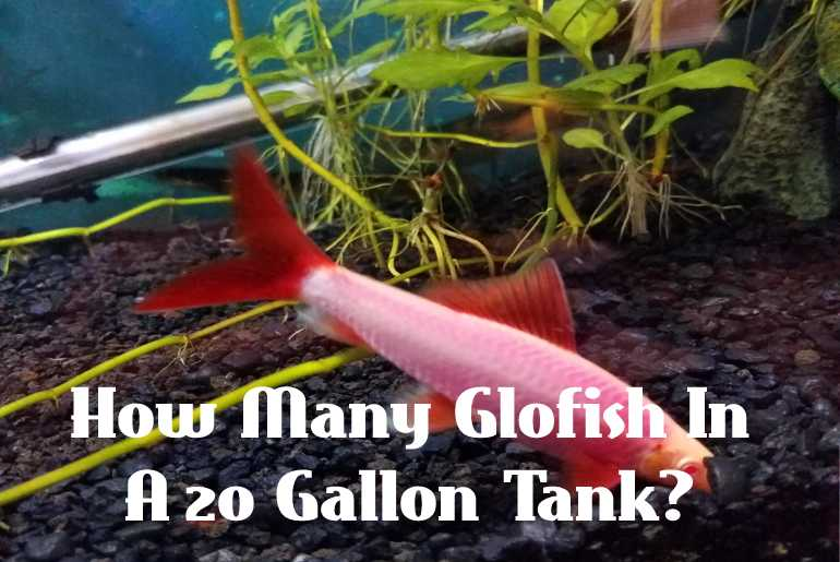 How Many Glofish In A 20-Gallon Tank?