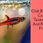 Chili Rasbora Care, Tankmates, Diseases, Breeding And Raising Fry