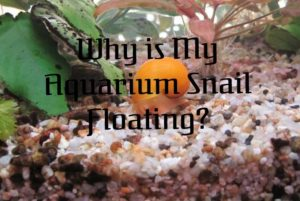 Aquarium snail Floating
