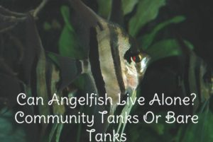 Can Angelfish live alone