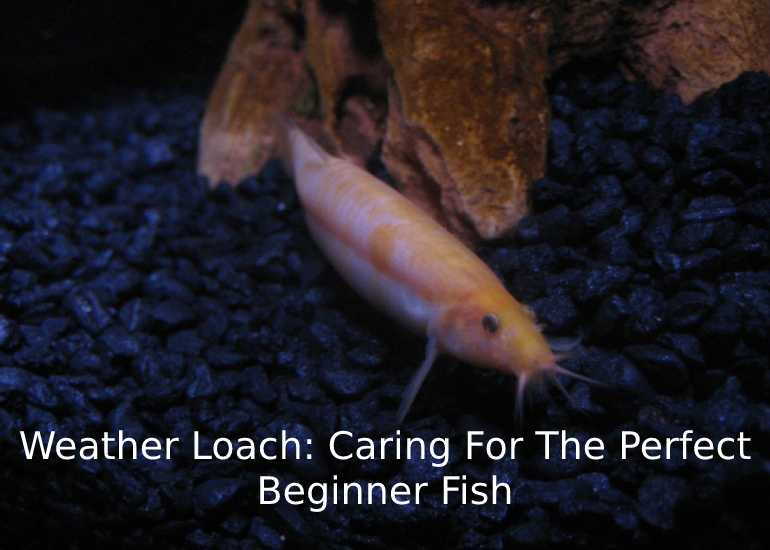 Weather Loach: Caring For The Perfect Beginner Fish
