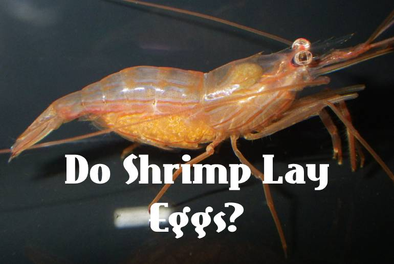 Do Shrimp Lay Eggs? What To Look For!