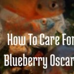 How To Care For Blueberry Oscar?