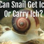 Can Snail Get Or Carry Ich? Save Your Fish!!