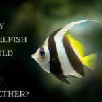 How Many Angelfish Should Be Kept Together?
